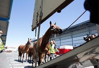 LAN Cargo transportó 50 caballos de Miami a Madrid | Aviacol.net El Portal de la Aviación Colombiana