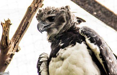 Águila arpía colombiana